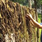 nettle-drying